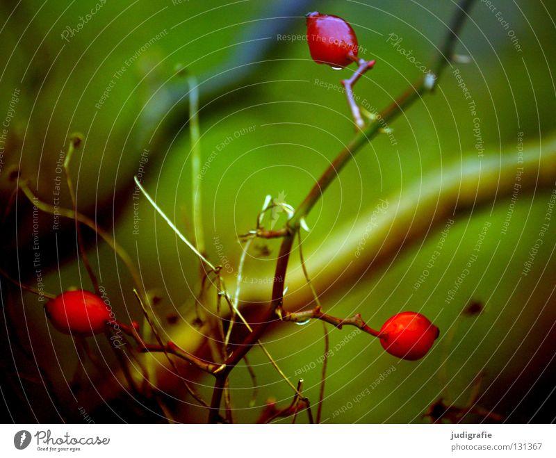 Rot rot Heilpflanzen Sträucher grün Herbst Winter nass kalt klein Dorn zart Umwelt 3 Farbe Beeren Tee Frucht Zweig Wassertropfen Natur Ast Hundsrose