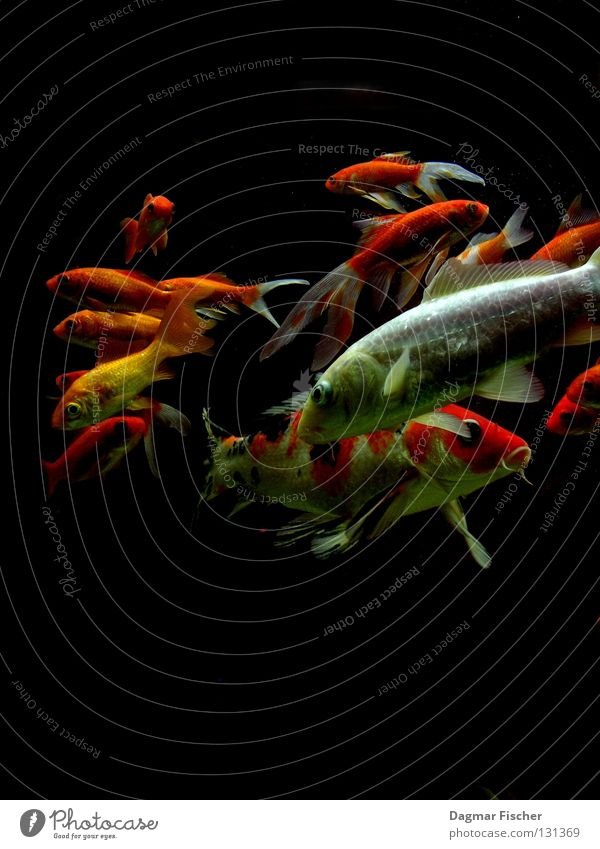 Mit Spinat und Kartoffeln Farbfoto Makroaufnahme Unterwasseraufnahme Textfreiraum oben Textfreiraum unten Hintergrund neutral Tierporträt Fisch Meeresfrüchte