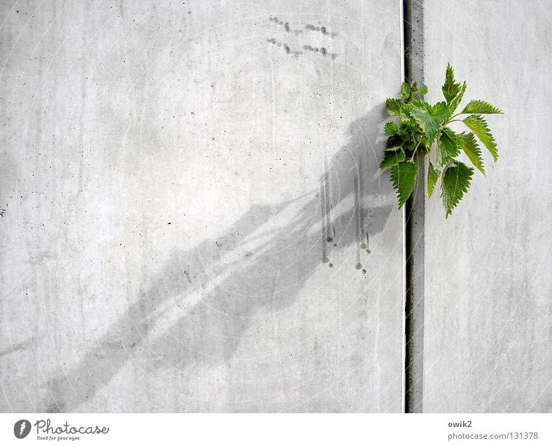 Nichts kann sie stoppen Natur Pflanze Blatt Umwelt Wand Frühling Gesundheit Mauer grau Wachstum frei Erfolg Beton Baustelle Macht frech
