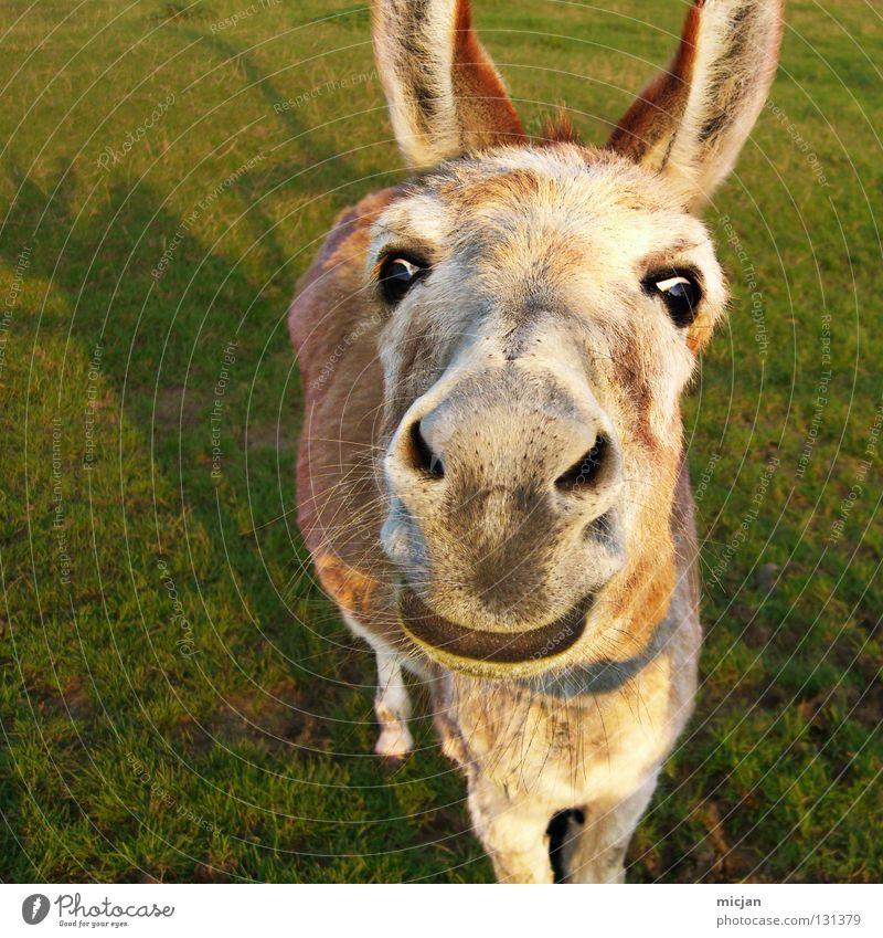 Mein stolzes Ross! grün Freude Tier Auge Wiese Gras Haare & Frisuren klein braun Freizeit & Hobby Nase süß Pferd Ohr Lippen niedlich
