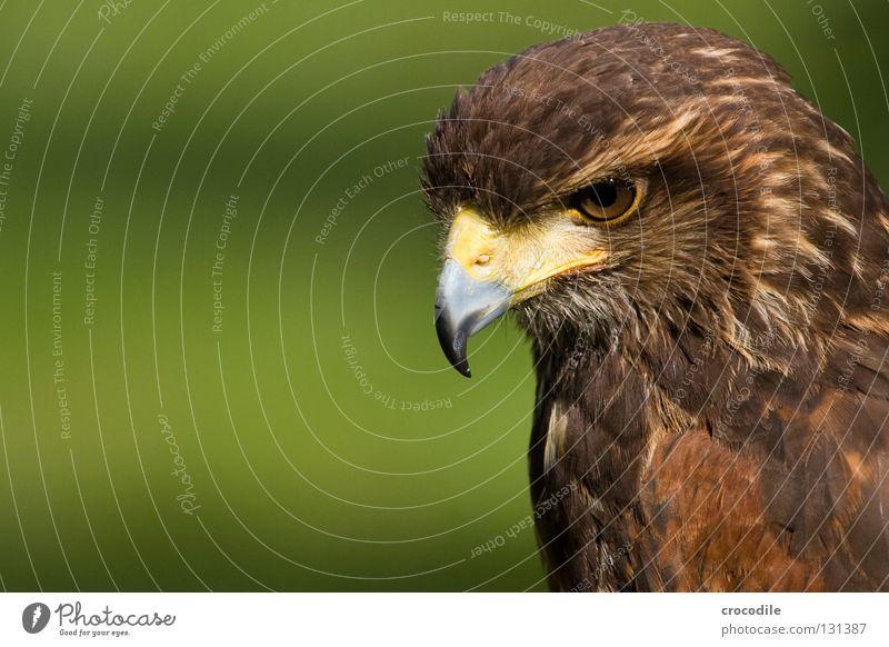 Stärke Adler bewegungslos Schnabel Greifvogel braun Haken töten Tier schön gefiedert gefangen Vogel Feder Blick Jagd fliegen Freiheit falknerei Auge