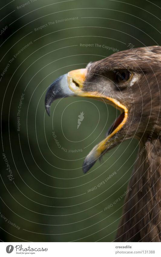 Langeweile schön Tier Auge Freiheit braun Vogel fliegen offen Feder Jagd schreien gefangen Schnabel bewegungslos Haken aufmachen