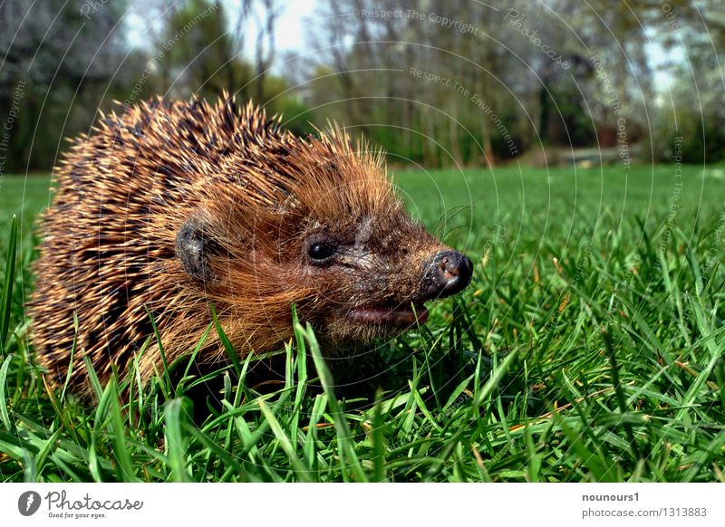 Frühlingserwachen Natur Landschaft Tier Bewegung Wildtier laufen Lebewesen entdecken Säugetier stachelig Igel
