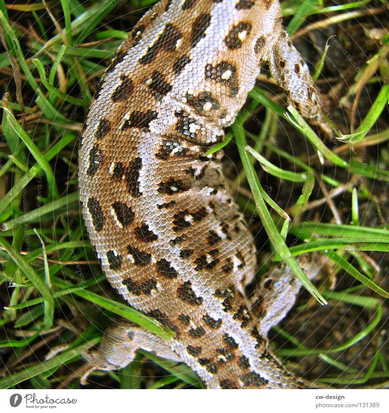 FLECKTARNTIGER Echsen Echte Eidechsen Tier Reptil Sprechgesang Verschmitzt Furche Gras Halm grün Dinosaurier Leder Muster mehrfarbig Makroaufnahme hart trocken