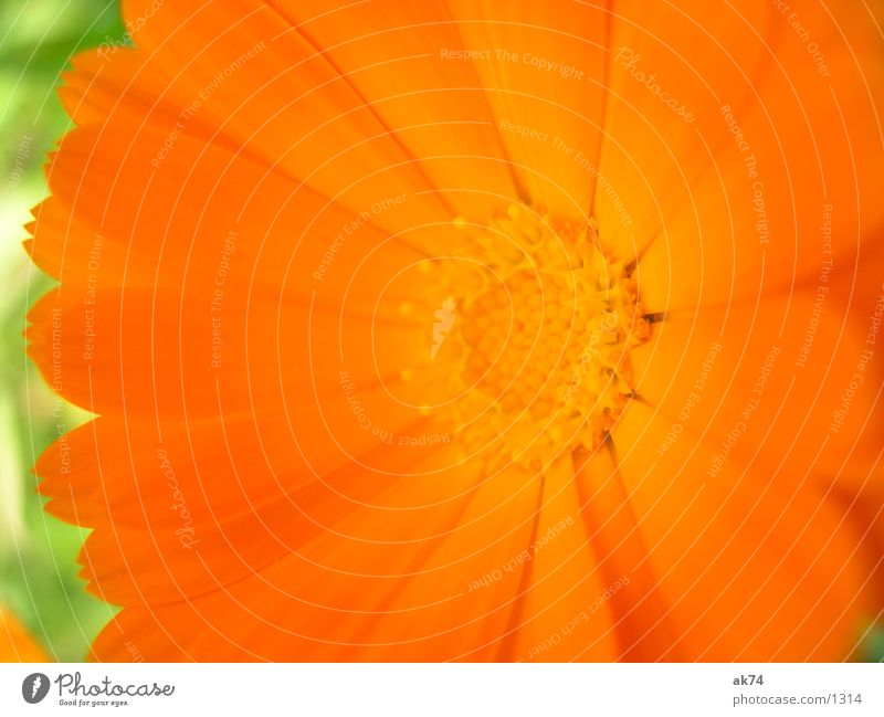 Orange Blüte grün Blume Pflanze orange Makroaufnahme
