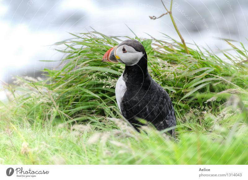 Papageientaucher (Fratercula arctica) Leben Natur Tier Küste Nordsee Meer Wildtier Vogel Papageitaucher 1 klein lustig maritim niedlich schwarz Küstenstreifen