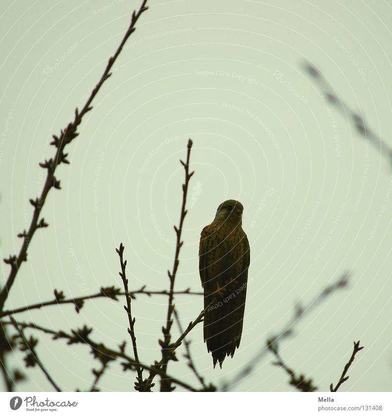 Falkenfrühling Umwelt Natur Pflanze Tier Baum Baumkrone Zweige u. Äste Vogel Turmfalke 1 hocken sitzen frei natürlich grau trüb Farbfoto Außenaufnahme
