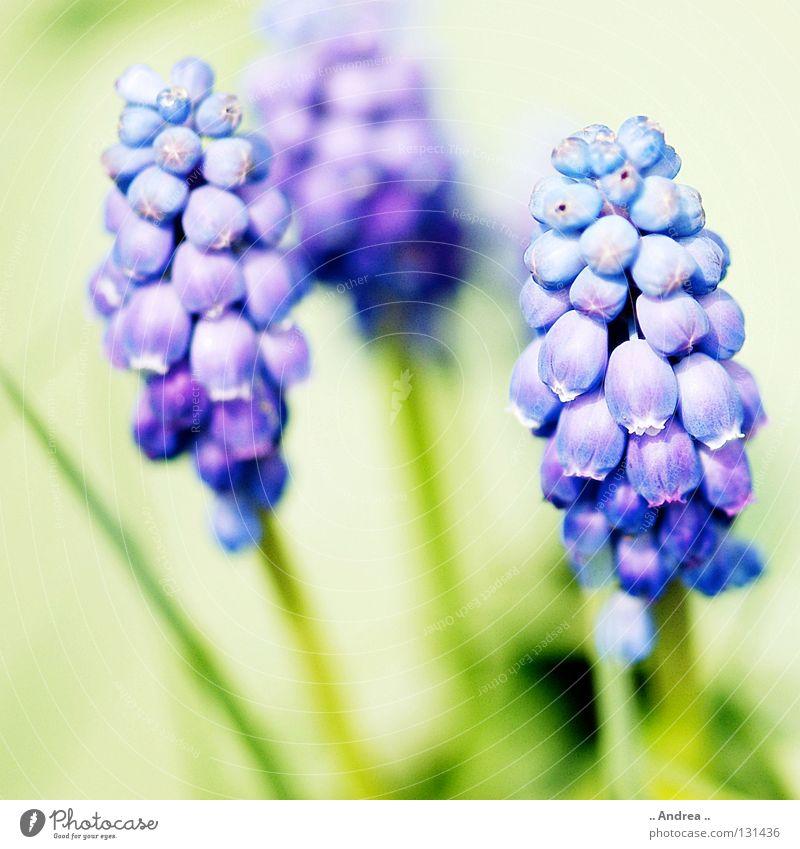 Frühlingsbote Sonne Pflanze Himmel Blume Blüte Blühend Duft leuchten Fröhlichkeit blau grün violett weiß Perspektive Traubenhyazinthe himmelblau Glocke