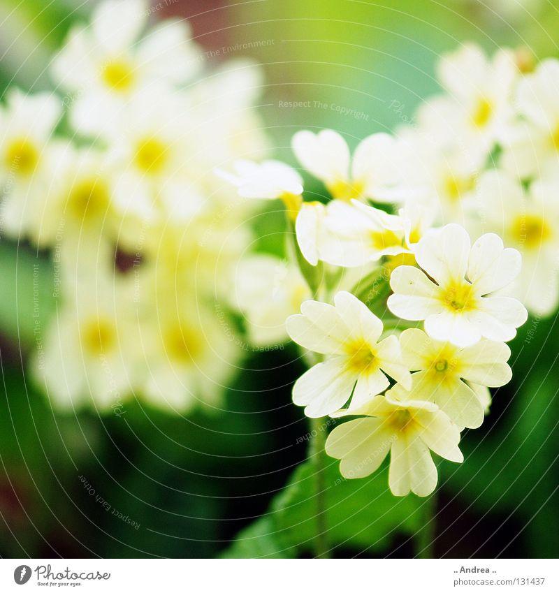 Frühlinsbote Nr. 2 Pflanze Frühling Blume Blüte Blühend Freundlichkeit Fröhlichkeit schön gelb grün orange weiß Lebensfreude Zufriedenheit Duft Umwelt