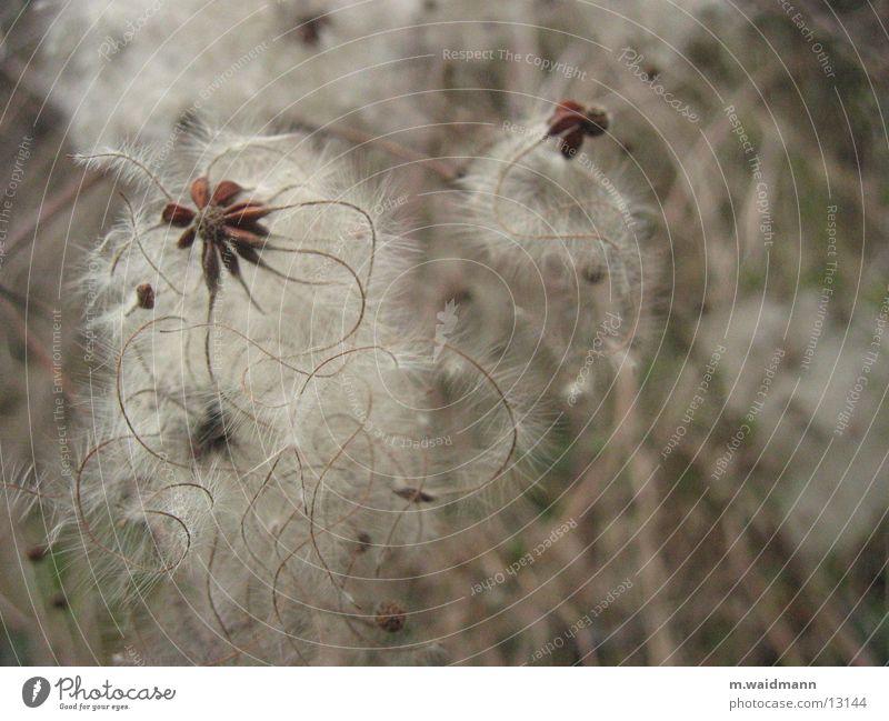 komisches kraut Blume Pflanze Herbst Samen getrocknet