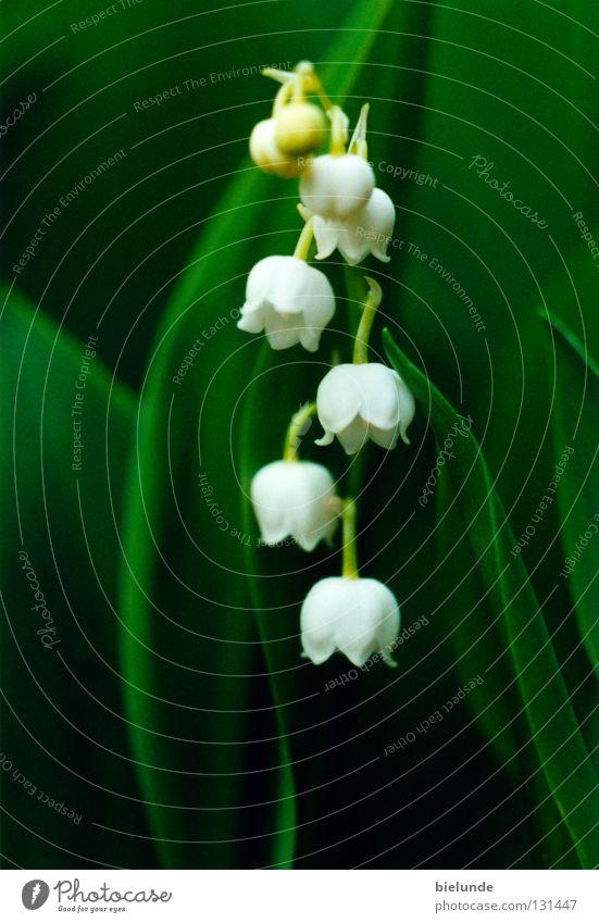 Maiglöckchen Natur Blume grün Pflanze Wiese Erde frisch Teile u. Stücke