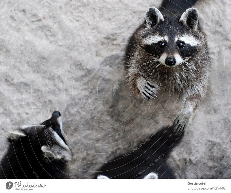 The Gang Tier Sand Wildtier Tiergesicht Fell Krallen Pfote Zoo Tiergruppe Rudel beobachten Neugier niedlich grau schwarz weiß Waschbär winken Säugetier Auge