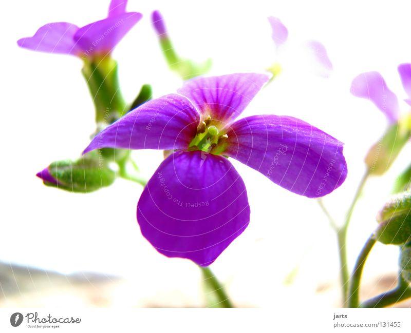 flowerpower Natur schön Blume Blüte Garten violett Berg-Steinkraut