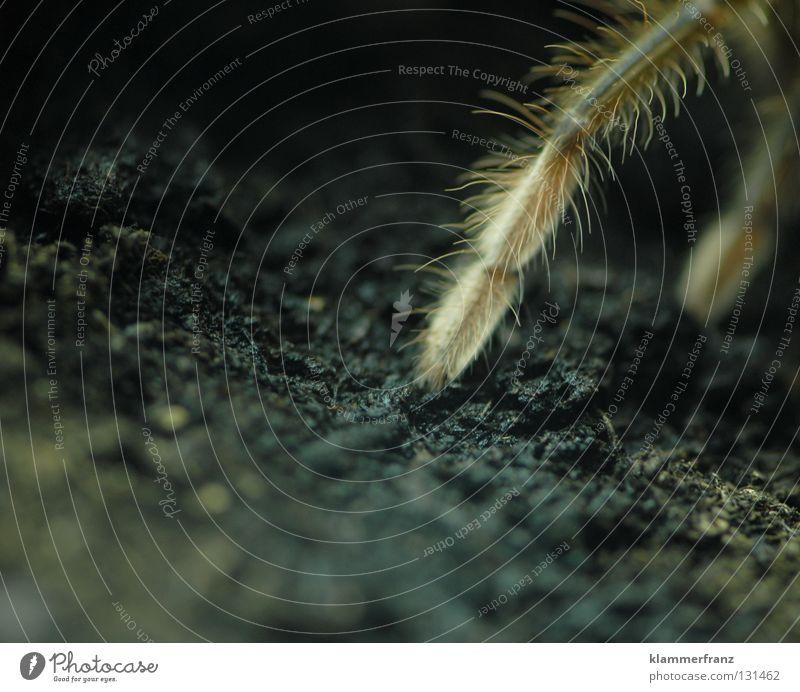 feines Beinhaar offen getragen Tier Beine Erde dünn Lebewesen Spinne Anschnitt Bildausschnitt Terrarium Spinnenbeine Vogelspinne