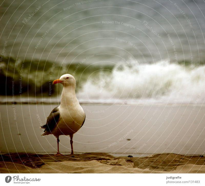 Kapitän Wasser Meer Strand Ferien & Urlaub & Reisen Farbe See Sand Vogel Küste warten Feder Sehnsucht Ostsee Möwe Schnabel Gischt