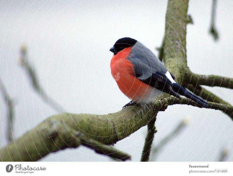 Kleiner Freund Baum Einsamkeit Winter kalt Herbst Vogel warten Ast Zweig frieren Singvögel Tier Fink Gimpel