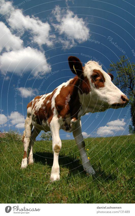 Weitwinkelkalb Kalb Kuh Landwirtschaft Tier Wiese Sommer Frühling grün zyan Ferien & Urlaub & Reisen Schwarzwald Umwelt Biotop ökologisch Wolken Gras schön Vieh