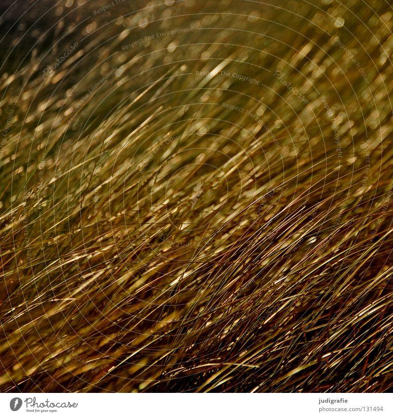 Gras Natur schön Strand Meer Farbe Wiese Küste Linie glänzend gold Wachstum Stranddüne Richtung Abendsonne