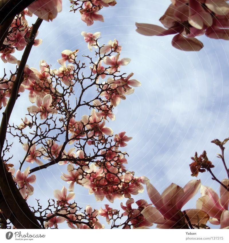 Magnolia Sträucher Blüte Baum Jahreszeiten Sommer Frühling Magnoliengewächse Bedecktsamer Magnoliidae bleich violett rosa Himmel Wärme es regnet Frösche