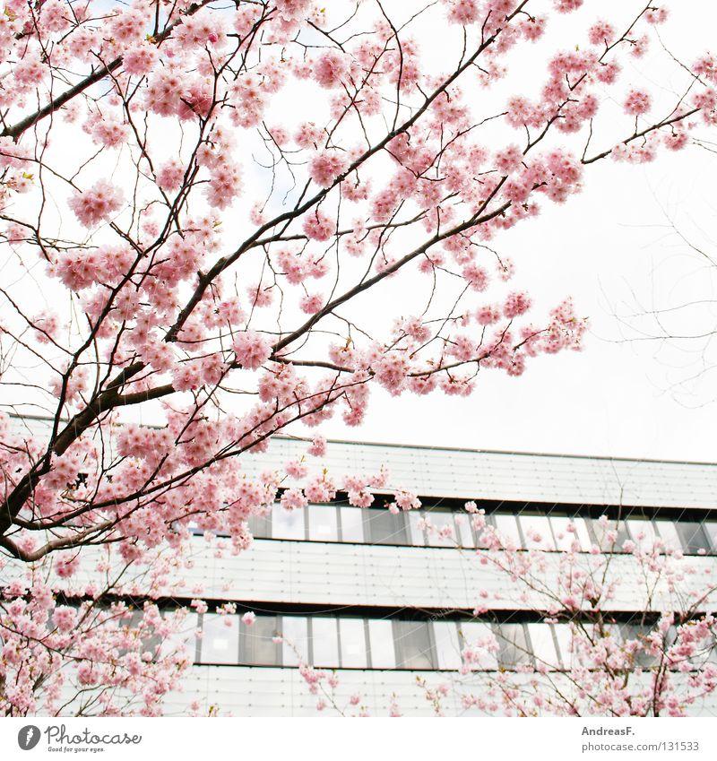 Rosa Baum Haus Blüte Frühling rosa Ast leicht Japan Gegenteil Mai April Cottbus Kirschblüten Pastellton sommerlich