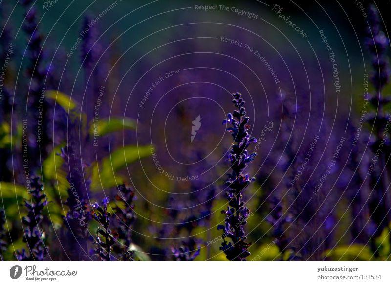 Lavendel Pflanze Sommer Tier Herbst Blüte violett Duft Heilpflanzen