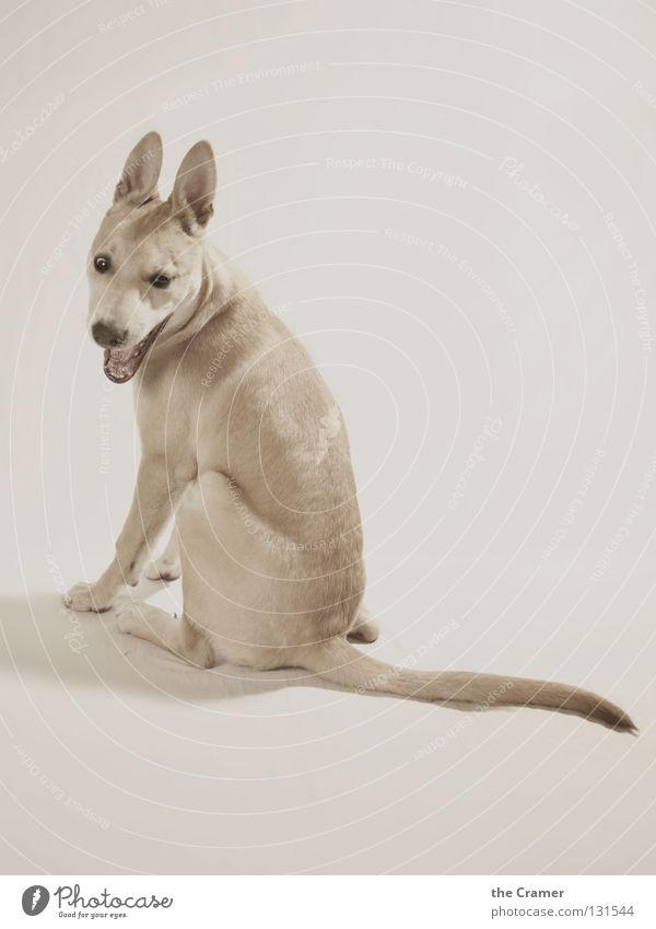 Schlitzohr Hund Welpe Wachsamkeit hören Tier Schnauze Gebiss Landraubtier wach Monochrom weich Fell frech Blick Sepia Haushund Vor hellem Hintergrund