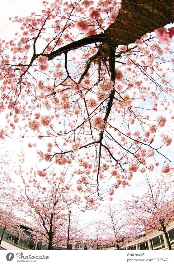 Campus rosa Blüte Kirschblüten Japan Cottbus Baum Gegenteil Pastellton Haus Frühling April Mai sommerlich leicht Weitwinkel Fischauge außergewöhnlich