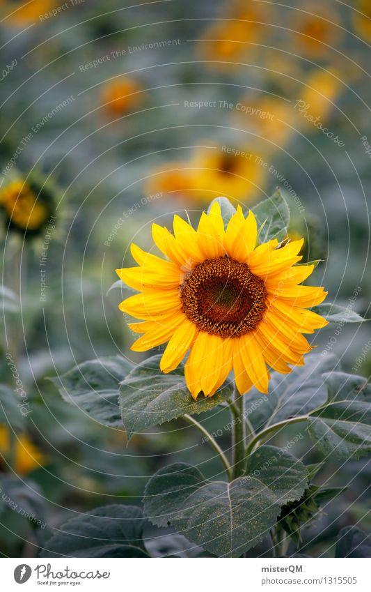 Morgensonne I Natur Landschaft ästhetisch Sonnenblume Sonnenblumenfeld Sonnenblumenkern Sonnenblumenöl Blume gelb Farbfoto Gedeckte Farben Außenaufnahme