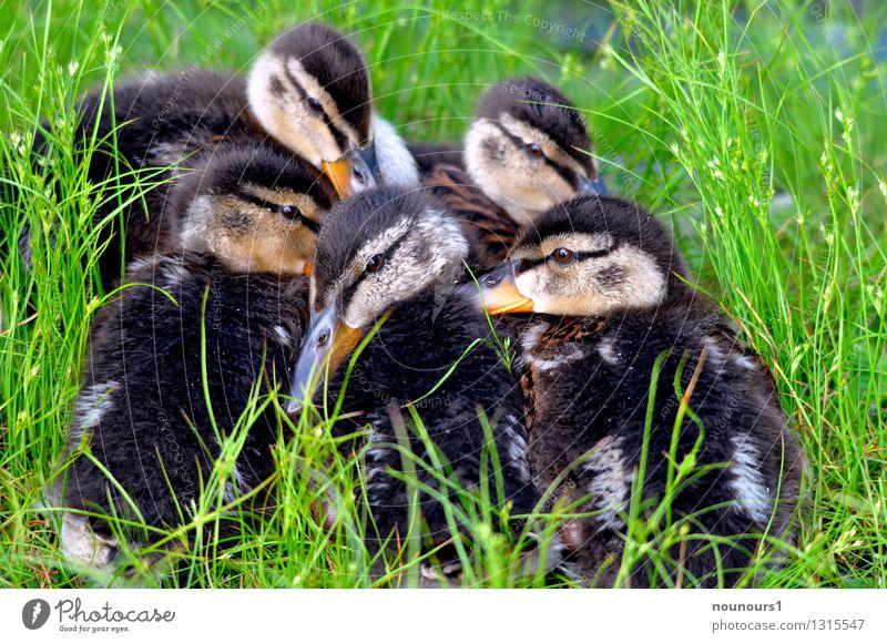 Kinderstube Natur Tier Tierjunges Vogel Park Wildtier Tiergruppe kuschlig Stockente Tierfamilie