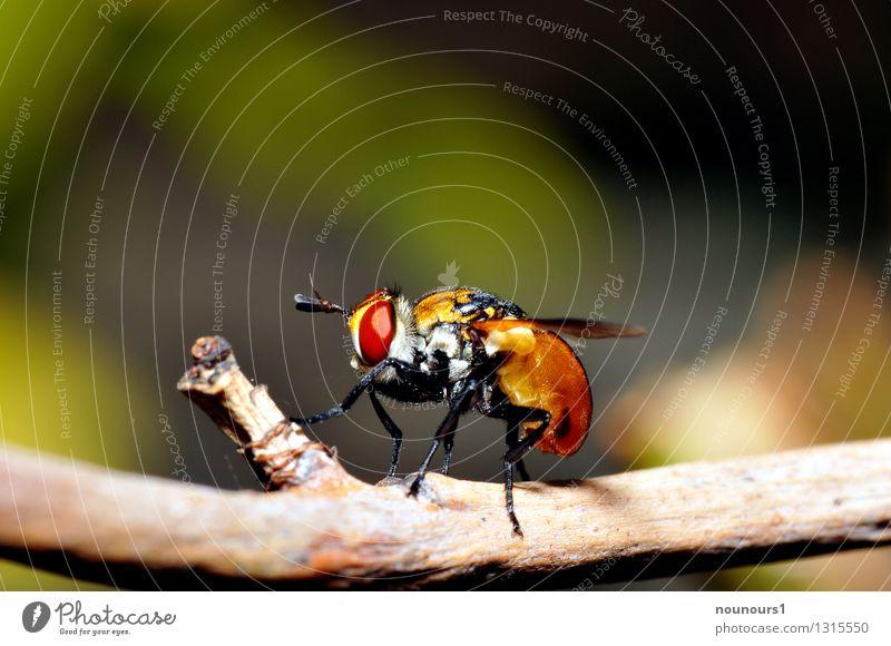 """Kleine Raupenfliege Natur Tier Wildtier Fliege Flügel winzling 1 dick """"ast facettenaugen fühler gymnosoma rotundatum insekt makro orange raupenfliege"""