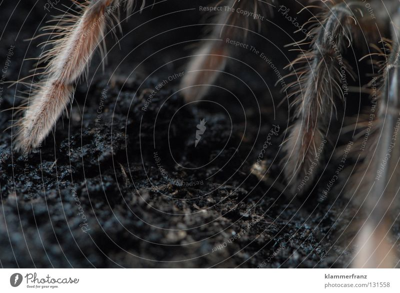 Auf allen Vieren Beine Erde Bildausschnitt Terrarium Spinnenbeine Vogelspinne