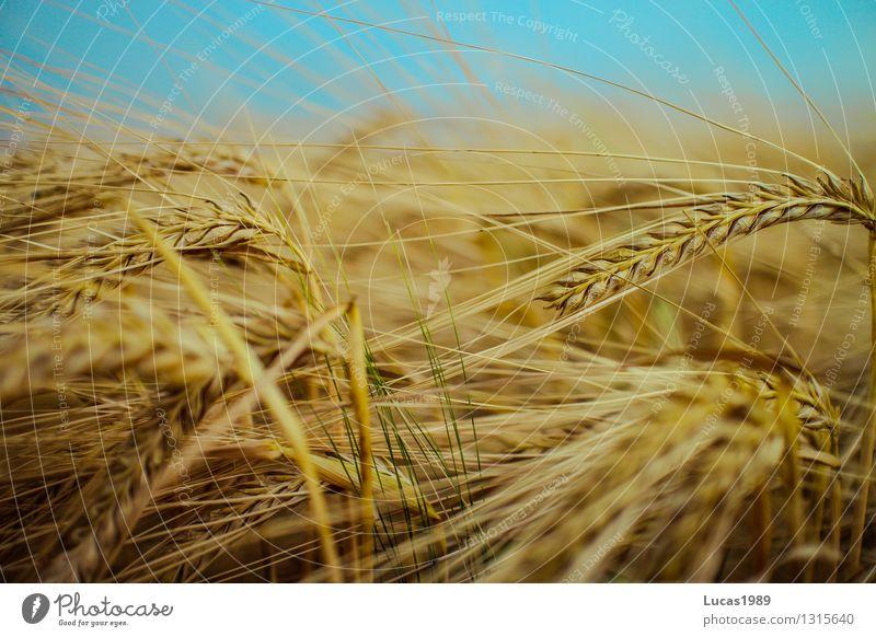 Getreide Himmel Natur Pflanze Sommer Umwelt Essen Gesundheitswesen Feld Wachstum Klima Landwirtschaft Bioprodukte Ackerbau Korn nachhaltig Diät