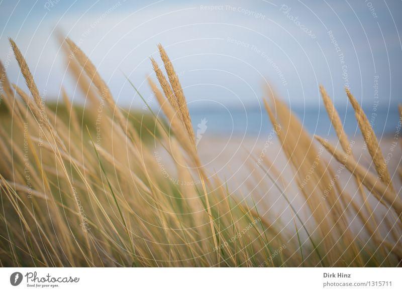 Strandhafer Tourismus Ausflug Ferne Meer Insel Umwelt Natur Landschaft Pflanze Himmel Sommer Gras Wildpflanze Küste Ostsee blau gold Umweltschutz Stranddüne