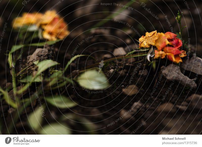 verblüht Natur alt Pflanze Sommer Blume dunkel Umwelt Tod Vergänglichkeit Trauer Rose