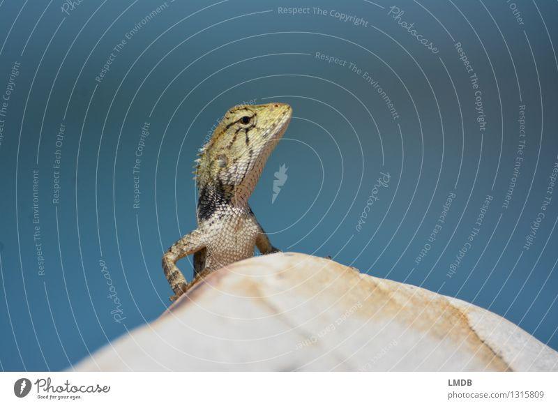 Guckst du! III Tier Wildtier Tiergesicht 1 blau Echte Eidechsen Echsen Neugier beobachten Chamäleon Reptil Schuppen Sonnenbad Erwartung Schüchternheit steinig