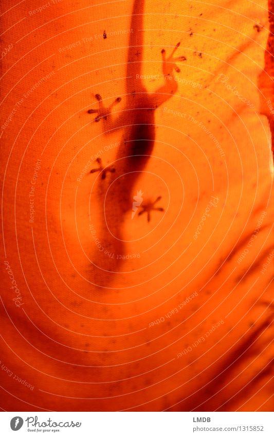 Gecko à l'orange Tier 1 Lampe Lampenschirm Stoff Echte Eidechsen Echsen Reptil Urwald Thailand Saugnapf Klettern kopfvoran verstecken Warmes Licht Warme Farbe