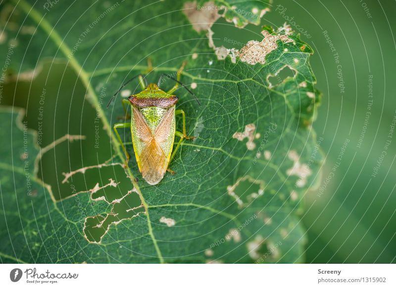 Mittagspause Natur Pflanze grün Sommer Blatt Tier Wald Essen klein Wildtier Vergänglichkeit Zerstörung Käfer gefräßig zerfressen