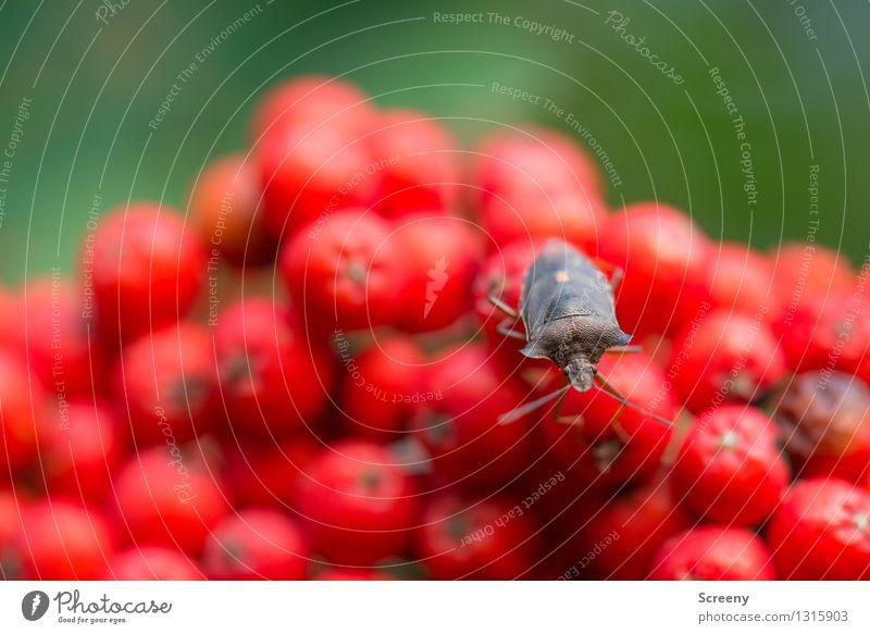 Auf dem roten Hügel Natur Pflanze grün Sommer Landschaft Tier Wald klein braun Wildtier sitzen Neugier Gelassenheit Käfer Vogelbeerbaum