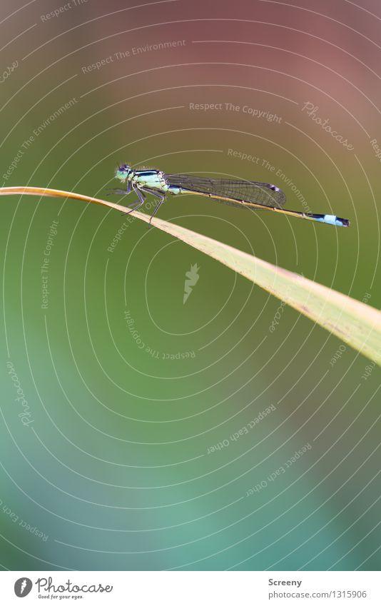 Filigranes Flügelwesen #4 Natur Pflanze Tier Sommer Gras Wiese Wildtier Libelle 1 sitzen ästhetisch klein Gelassenheit ruhig zerbrechlich Insekt elegant