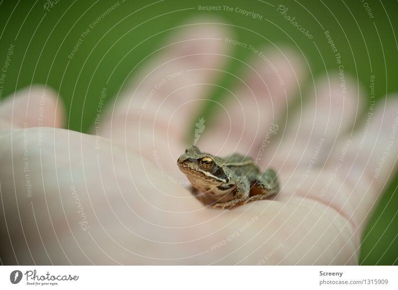 Ungeküsst Natur Tier Sommer Wiese Wildtier Frosch 1 beobachten sitzen warten klein Selbstbeherrschung Glätte Hand Handfläche Farbfoto Außenaufnahme