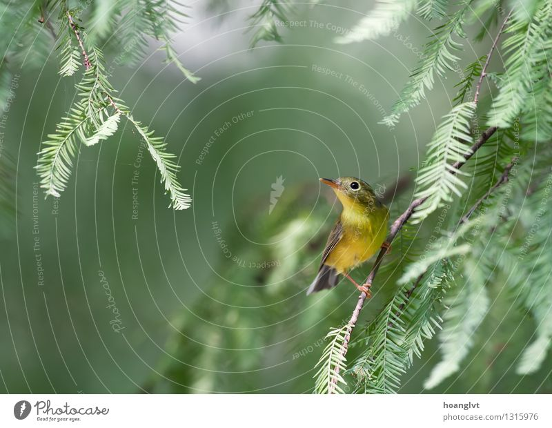 Ein Bianchi's Warbler auf der Jagd nach Insekten Natur grün Baum Blatt Wald natürlich Vogel wild Inserat konservativ