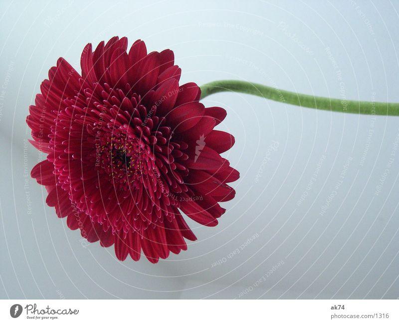 Gerbara Blüte rot