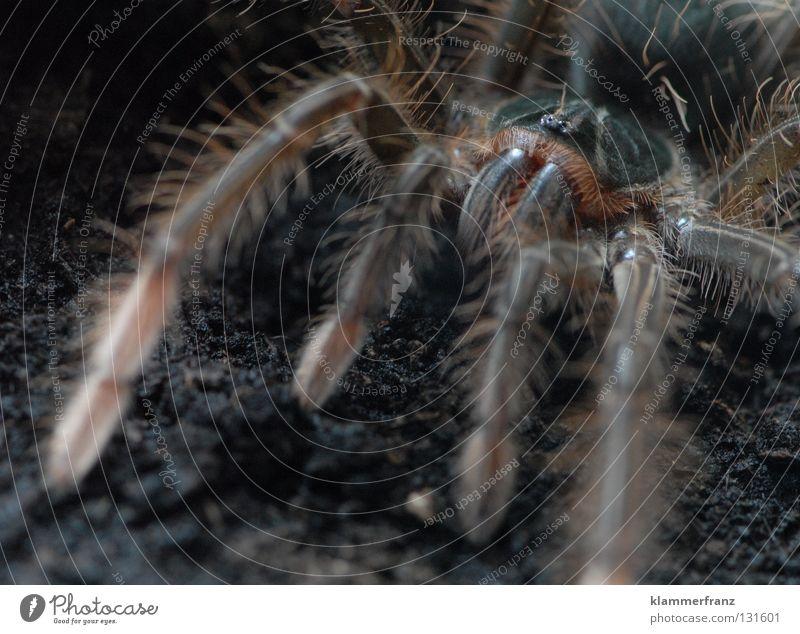 Komm näher Schätzchen... Bildausschnitt Detailaufnahme Spinnenbeine Beine Riesenvogelspinne Makroaufnahme Erde Terrarium Vogelspinne Theraphosa Monster