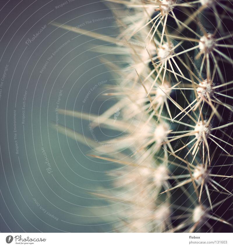 Tut aua Kaktus Bedecktsamer grün stachelig gefährlich stechen Pflanze erleuchten Dorn Botanik Makroaufnahme Nahaufnahme Wüste kakteenen kaktuse kakteengewächse