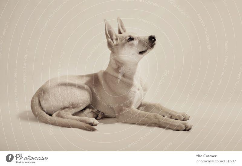 Lotte Hund schön Tier liegen Nase hören Wachsamkeit aufwärts Säugetier Schnauze Treue gehorsam Sepia wach Welpe Monochrom