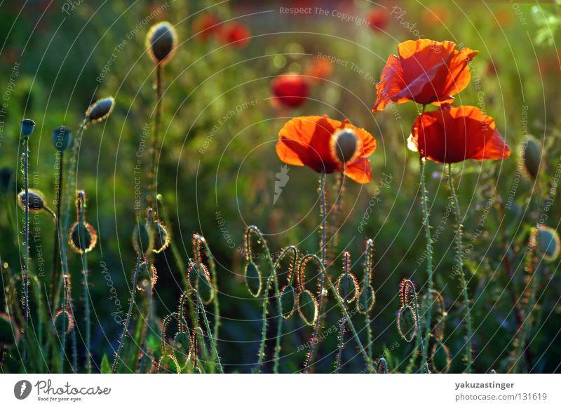 Wiesenzappler rot Härchen grün Gras Sommer Frühling Pflanze Tier Blume Mohn.Wiese Flower