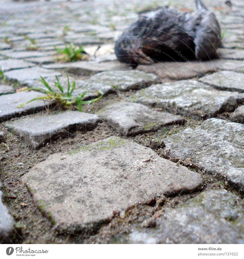 Der Tod auf dem Pflaster Taube Vogel Vergänglichkeit Trauer Bürgersteig Tier Verzweiflung roadkill Schmerz ratten der lüfte flugratten Kopfsteinpflaster alt