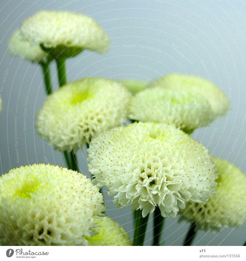 GruppenFoto mehrere klein rund Blumenstrauß Blütenblatt gelb weiß Pflanze Makroaufnahme Nahaufnahme viele Blüten Blume Schnittblume Stengel Natur Sarah Kasper