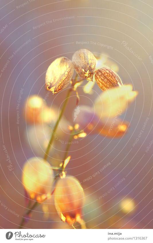 zart Umwelt Natur Pflanze Blume Wildpflanze Garten Park Wiese leuchten Wärme gold Freiheit Frieden Idylle Leben Leichtigkeit Stimmung Umweltverschmutzung