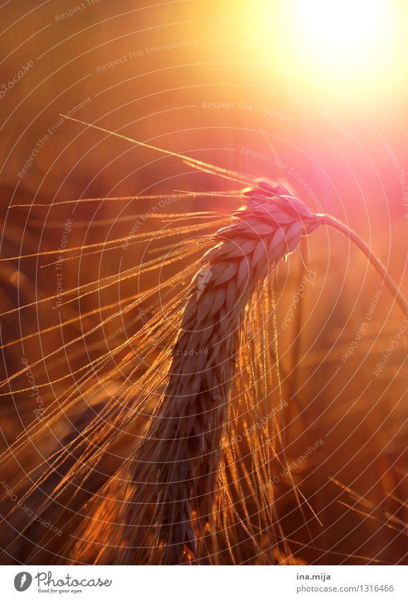 Roggen im Sonnenschein Lebensmittel Getreide Ernährung Bioprodukte Vegetarische Ernährung Diät Umwelt Natur Sonnenaufgang Sonnenuntergang Sonnenlicht